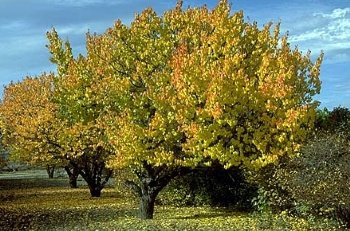 Small medium trees ccscd tree store cass county scd for Small hardy trees