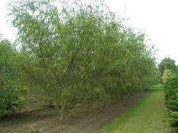 Willow, Sharpleaf-2