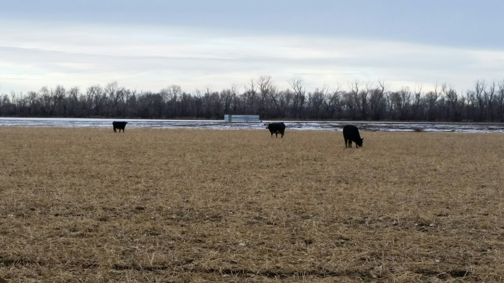 cattle cover crop
