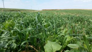 nudellcovercrop