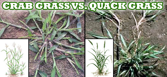 Crabgrass & Quackgrass