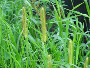 Yellow & Green Foxtail