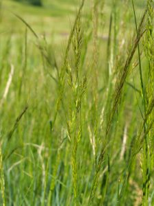 Green Needlegrass