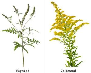 Ragweed- Not to be confused with our desired golden rood. Ragweed has deeply lobed, fern like leaves